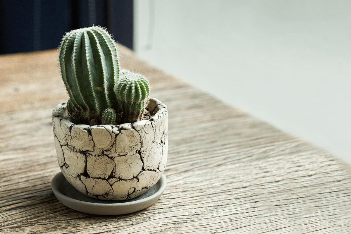 balloon cactus care