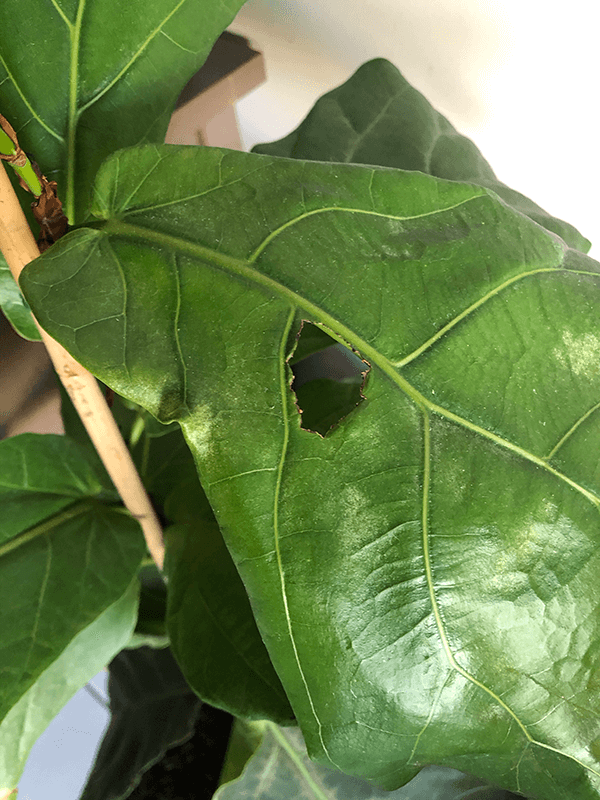 Fiddle Leaf Fig brown spot