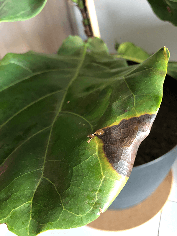 Fiddle Leaf Fig Brown Spots