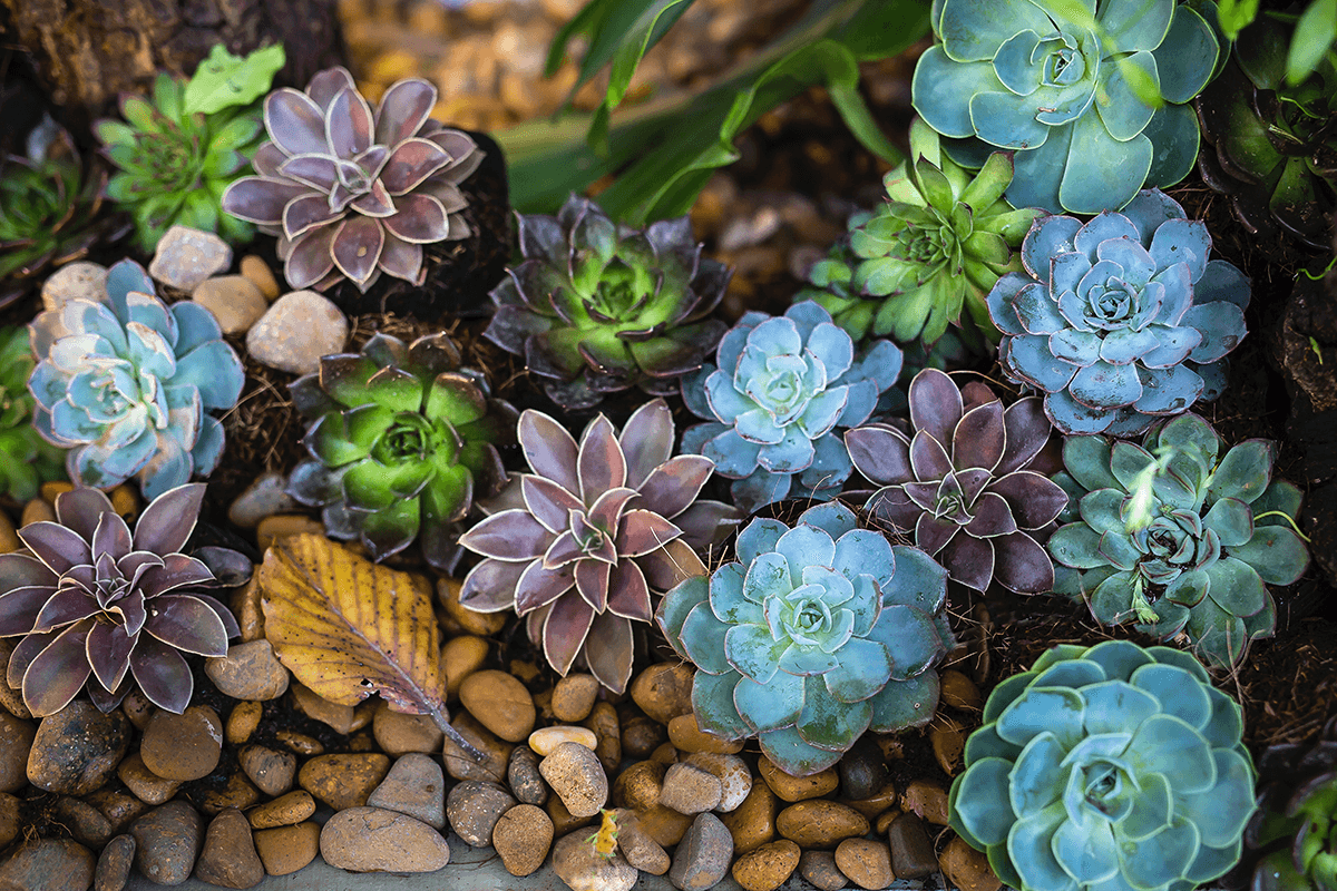 fast growing succulents