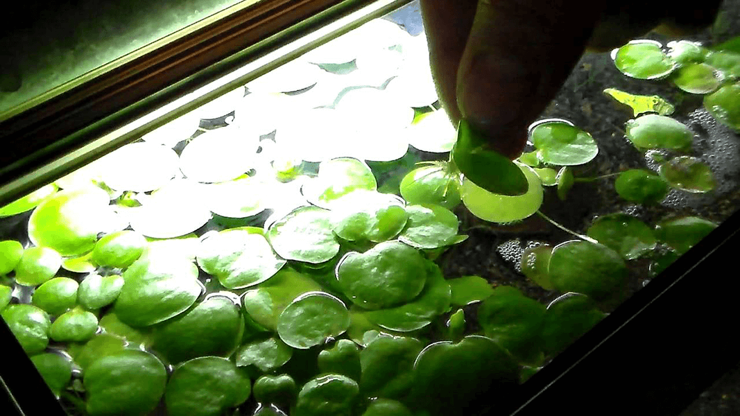 Indoor water plants - Amazon-Frogbit