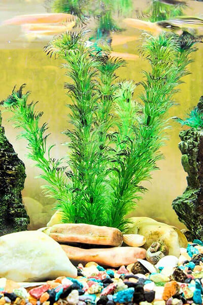 indoor water plants - Hornwort