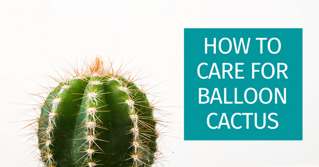how to care for your balloon cactus plant
