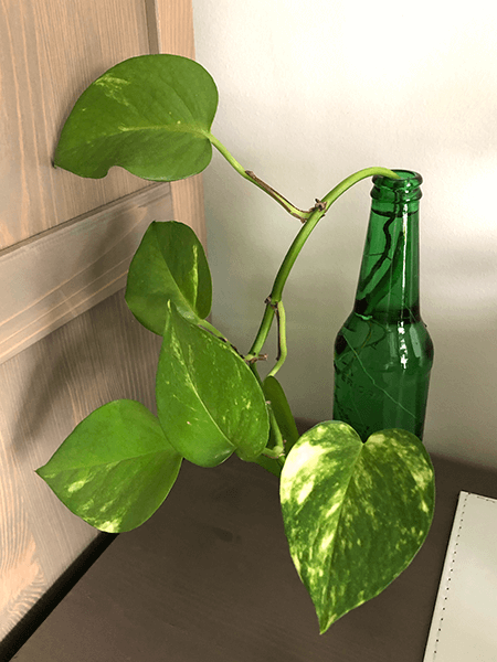 Indoor water plants - pothos