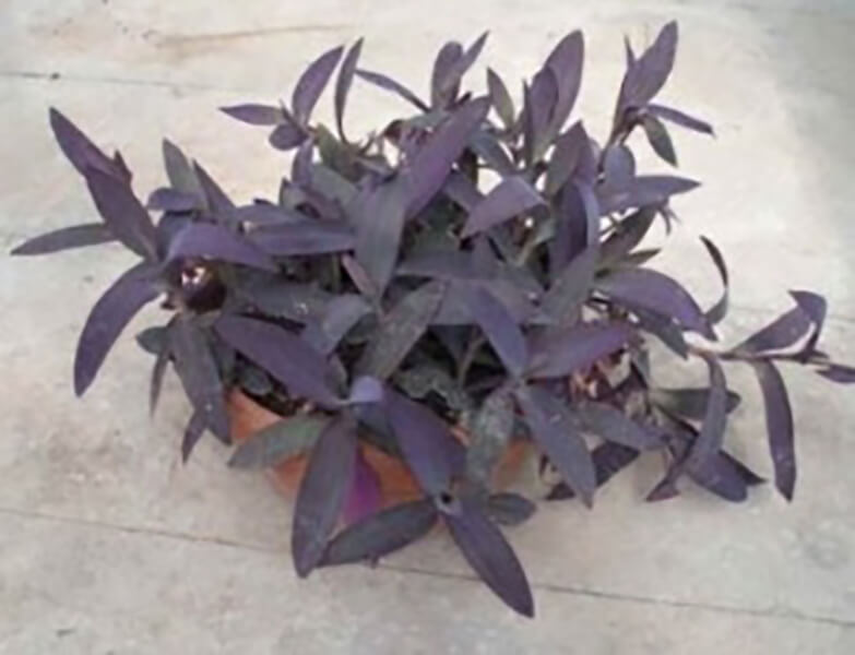 indoor water plants - purple heart plant