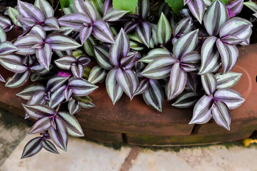 indoor water plants - wandering jew